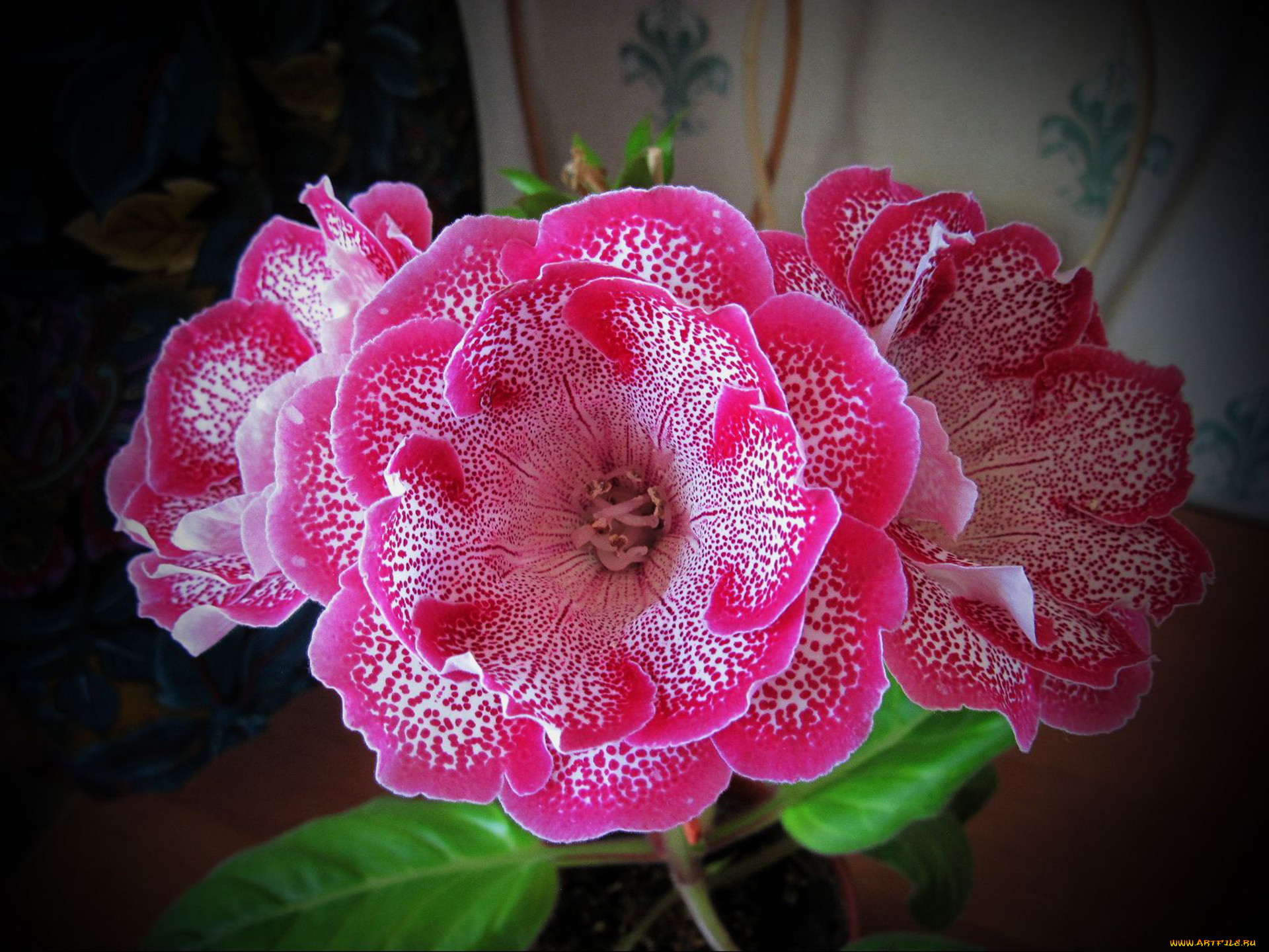 Комнатные цветы красные колокольчики фото и названия